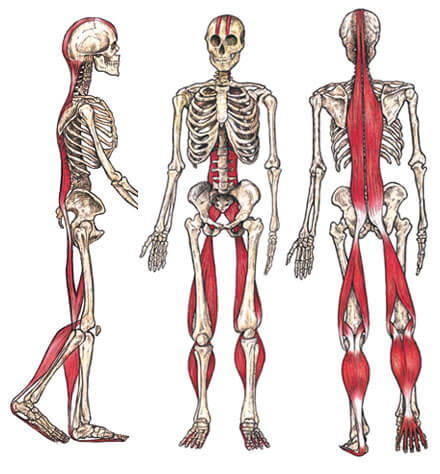 Fit Culture Inc Posterior Chain Muscles